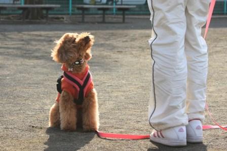 67731941_org トイプーあずきちゃんの飼い主さんは、あずきちゃんの服従心を育てたいと思